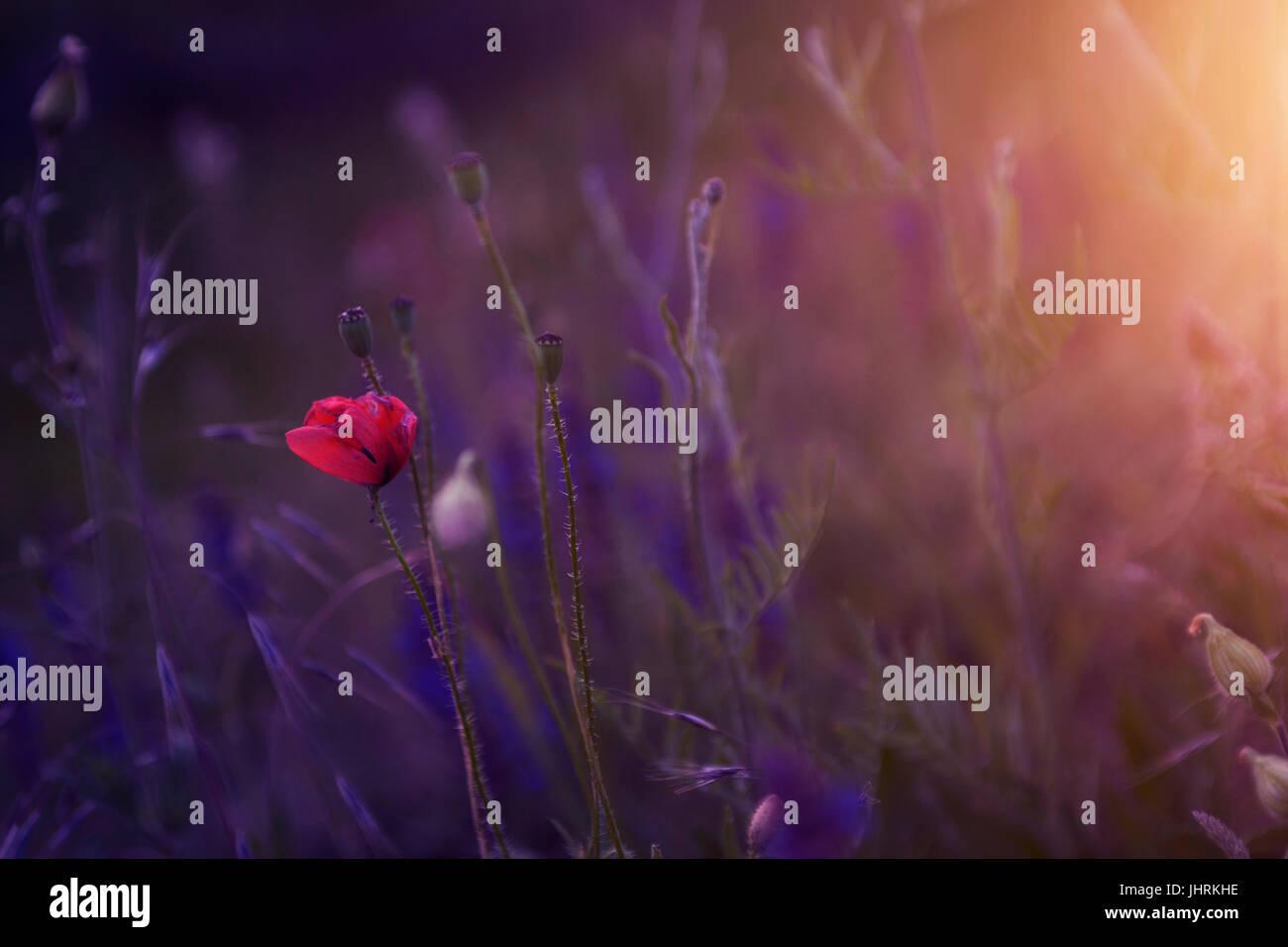 Mohn im Sonnenuntergang Stockbild