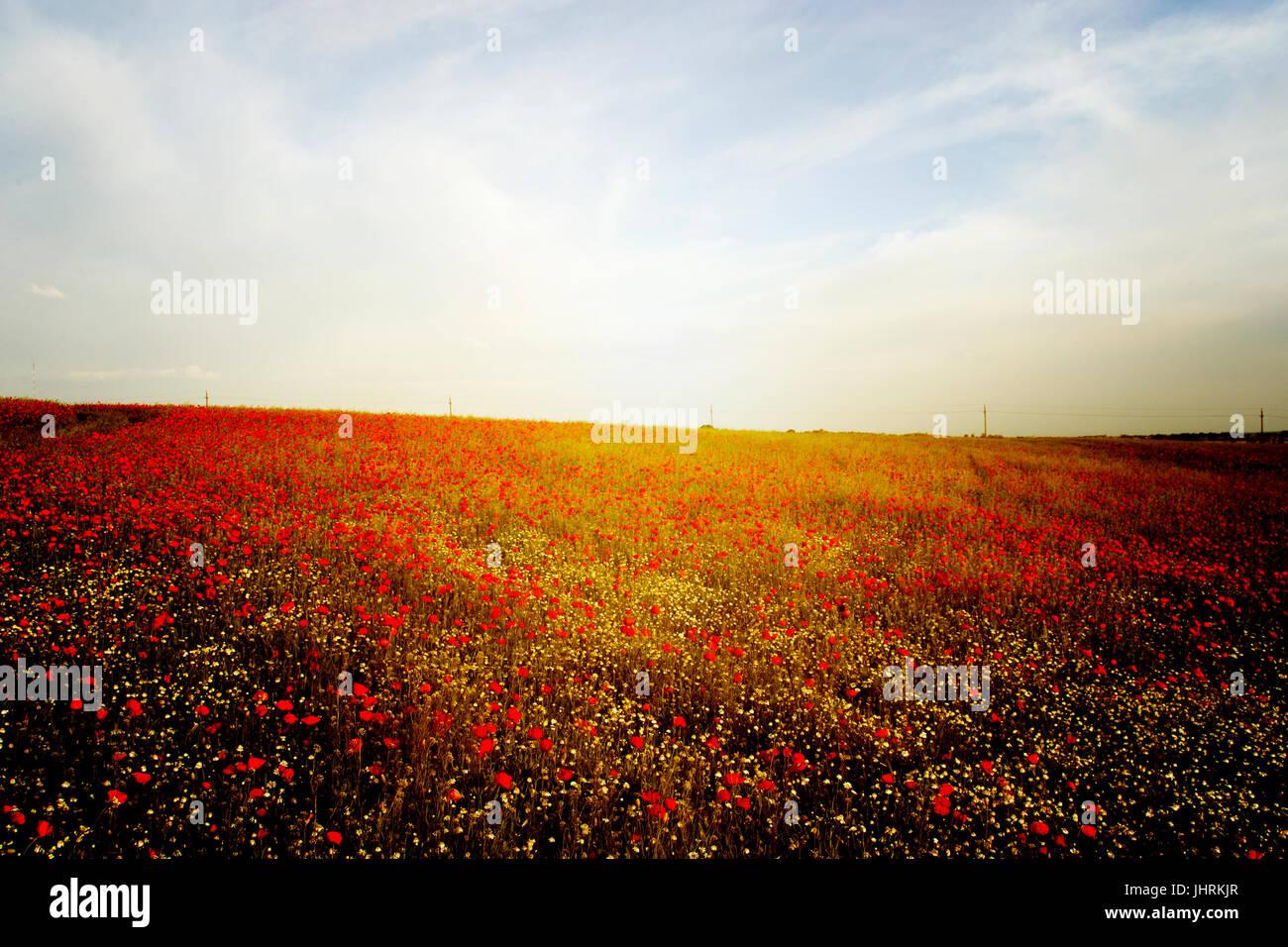 Mohnfeld im Sonnenuntergang Stockbild