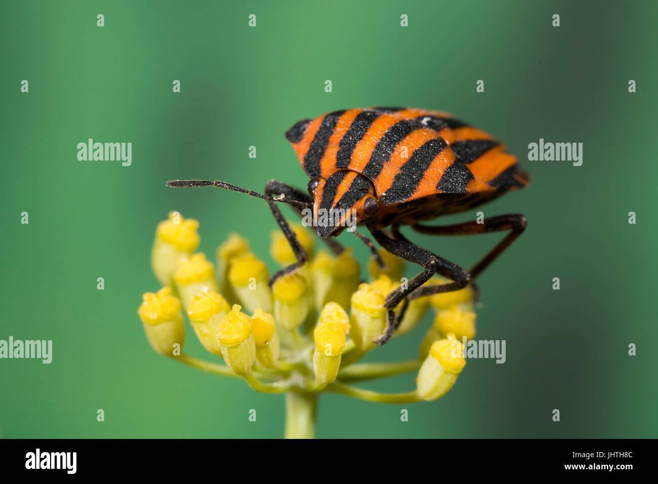Rot und schwarz gestreift Stink Bug - Graphosoma lineatum Stockbild
