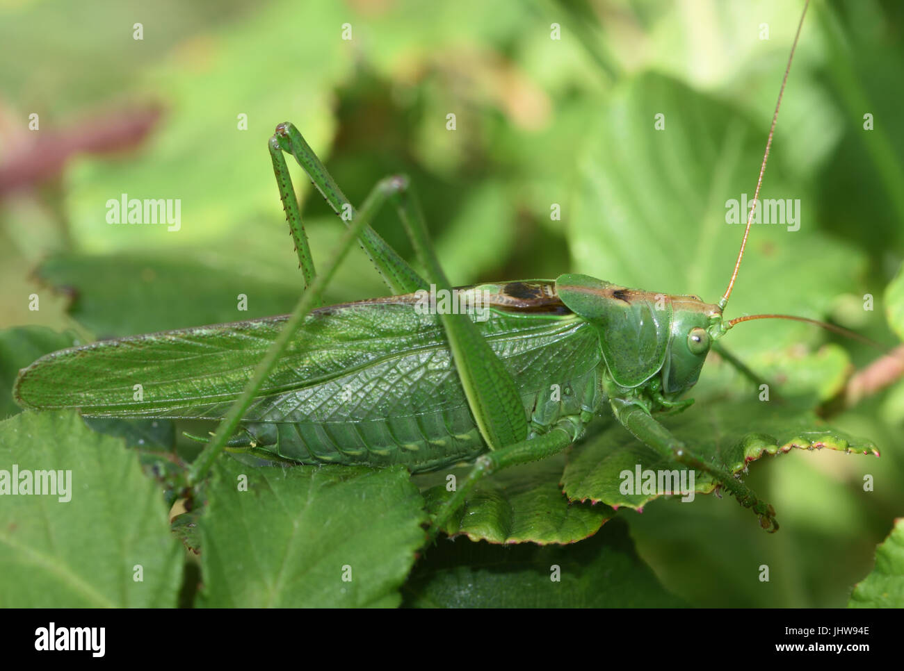 Eine große weibliche große Green Bush-Cricket (Tettigonia Viridissima). Cuckmere Haven, Sussex, UK. Stockfoto