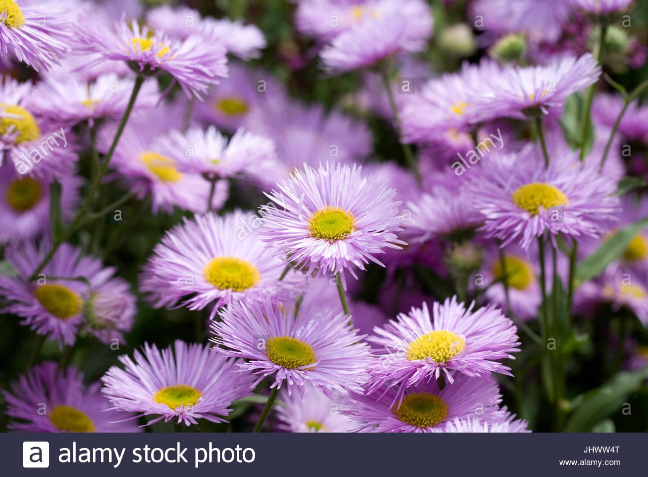"""Erigeron """"Wohlstand"""" Blumen im Garten Stockbild"""