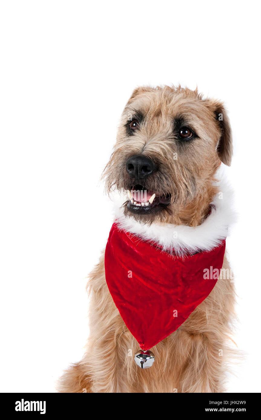 Schöner brauner Hund im Urlaub Weihnachten Schal Halstuch mit Jingle ...