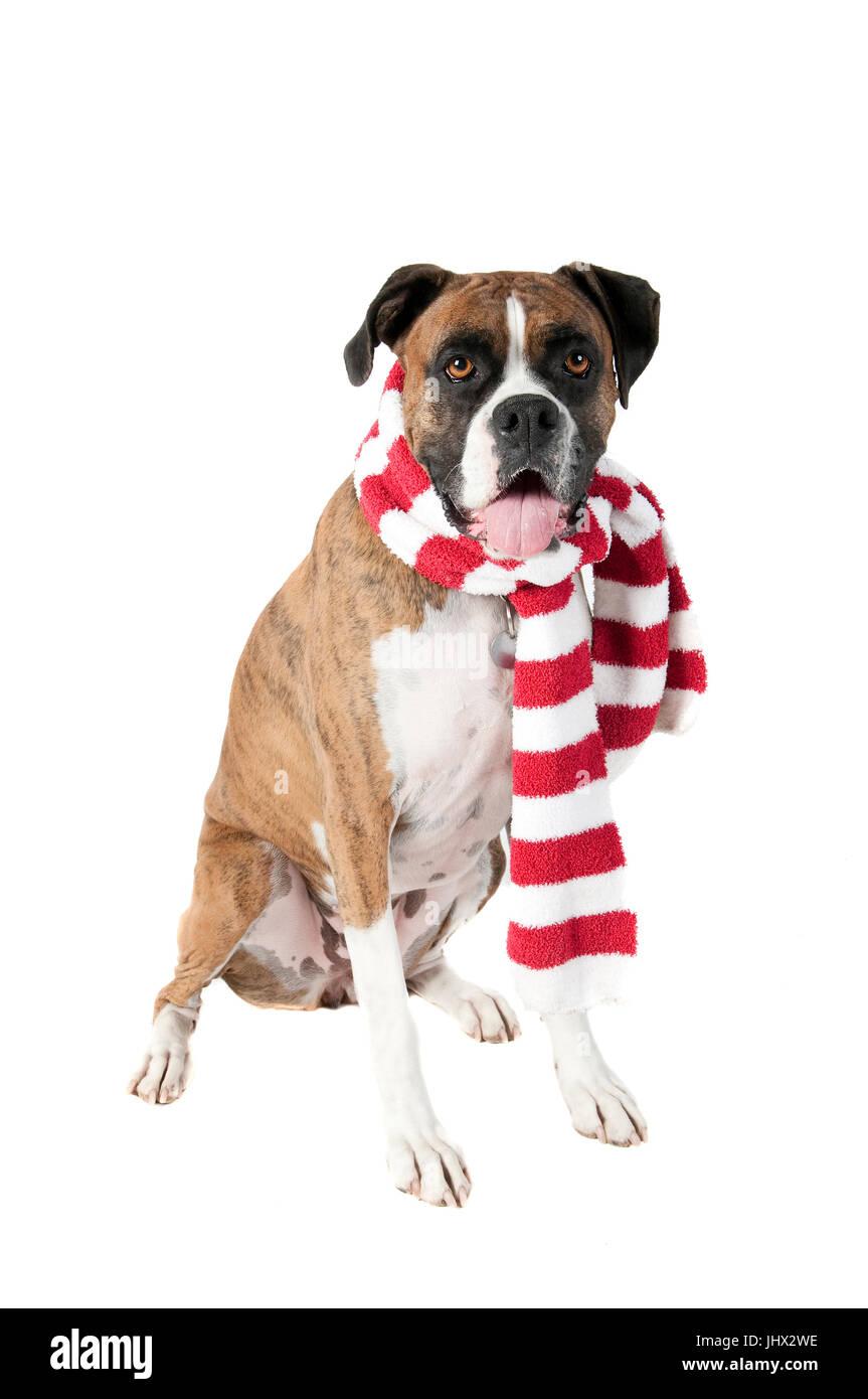 Schöne braune Hund in roten und weißen Urlaub Weihnachten Schal ...