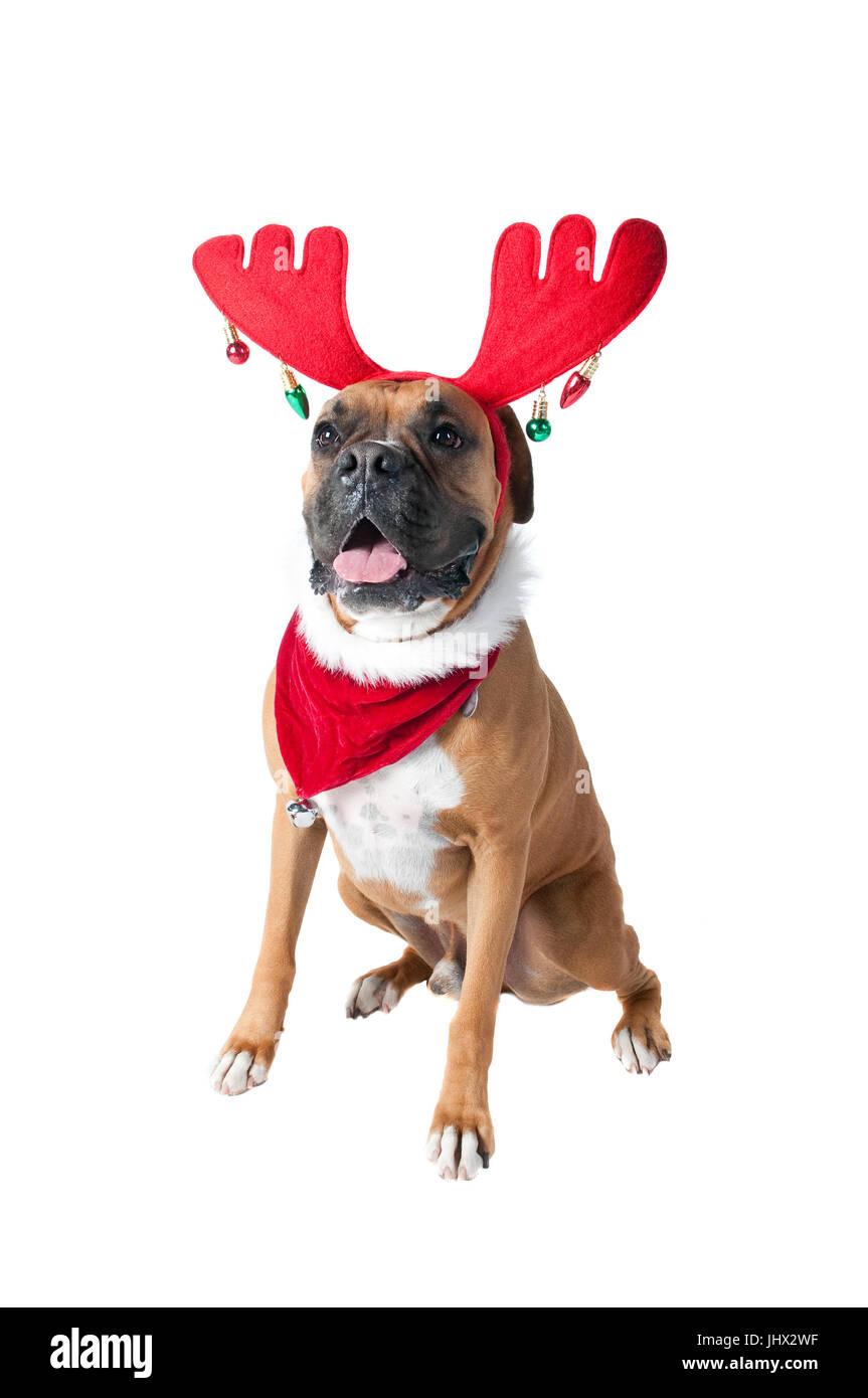 Schöne braune Hund im Urlaub Weihnachten Schal Halstuch mit Jingle ...