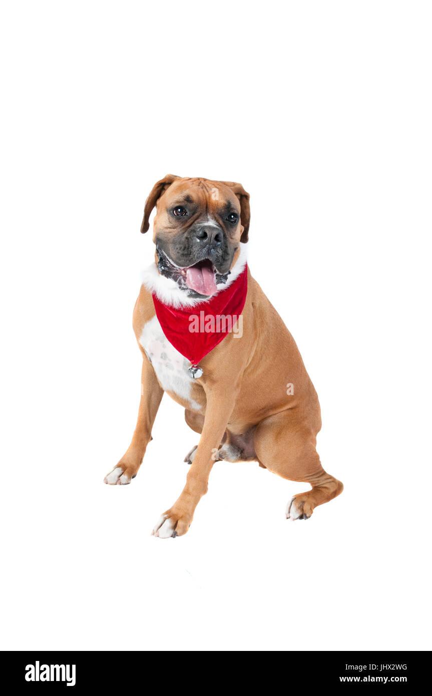 Schöne braune Boxer Hund im Urlaub Weihnachten Schal Halstuch mit ...