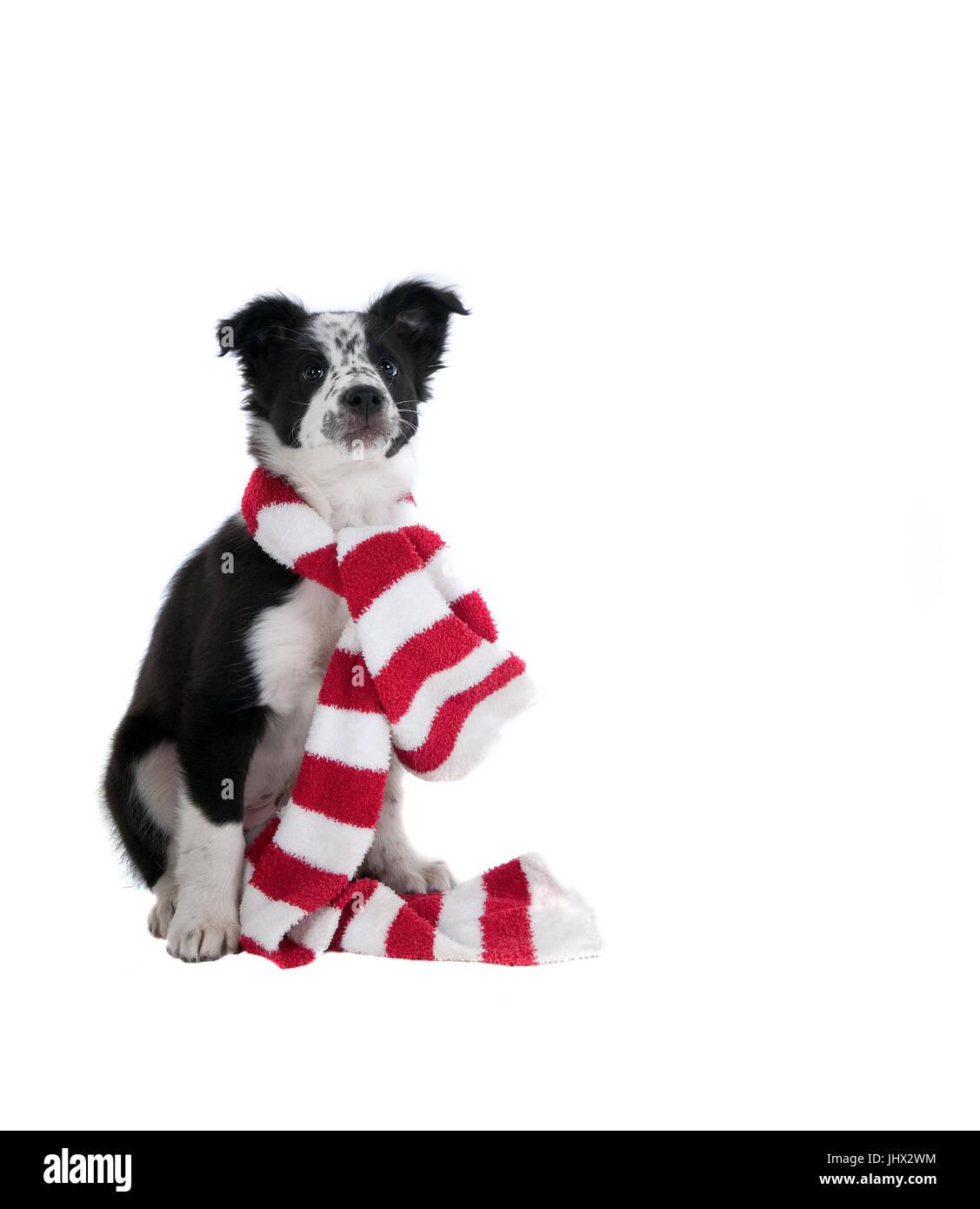 Cute Black und White Border Collie Welpen Hund in Urlaub Weihnachten ...