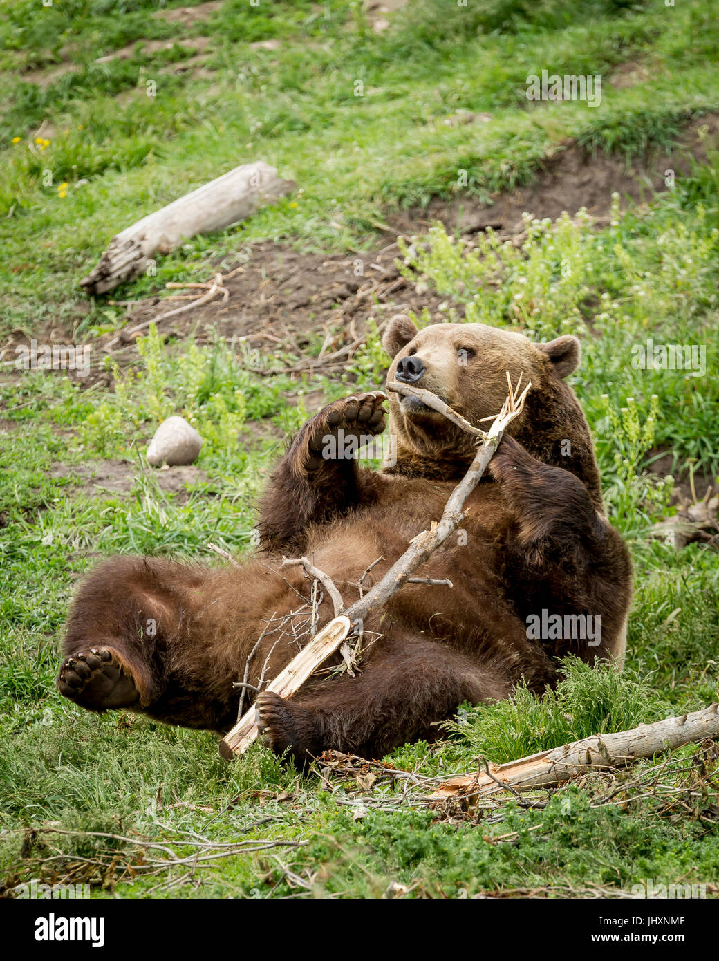 Eine Gefangene Grizzlybär wird spielerisch mit einem Stock in der Nähe von Bozeman, Montana. Stockbild