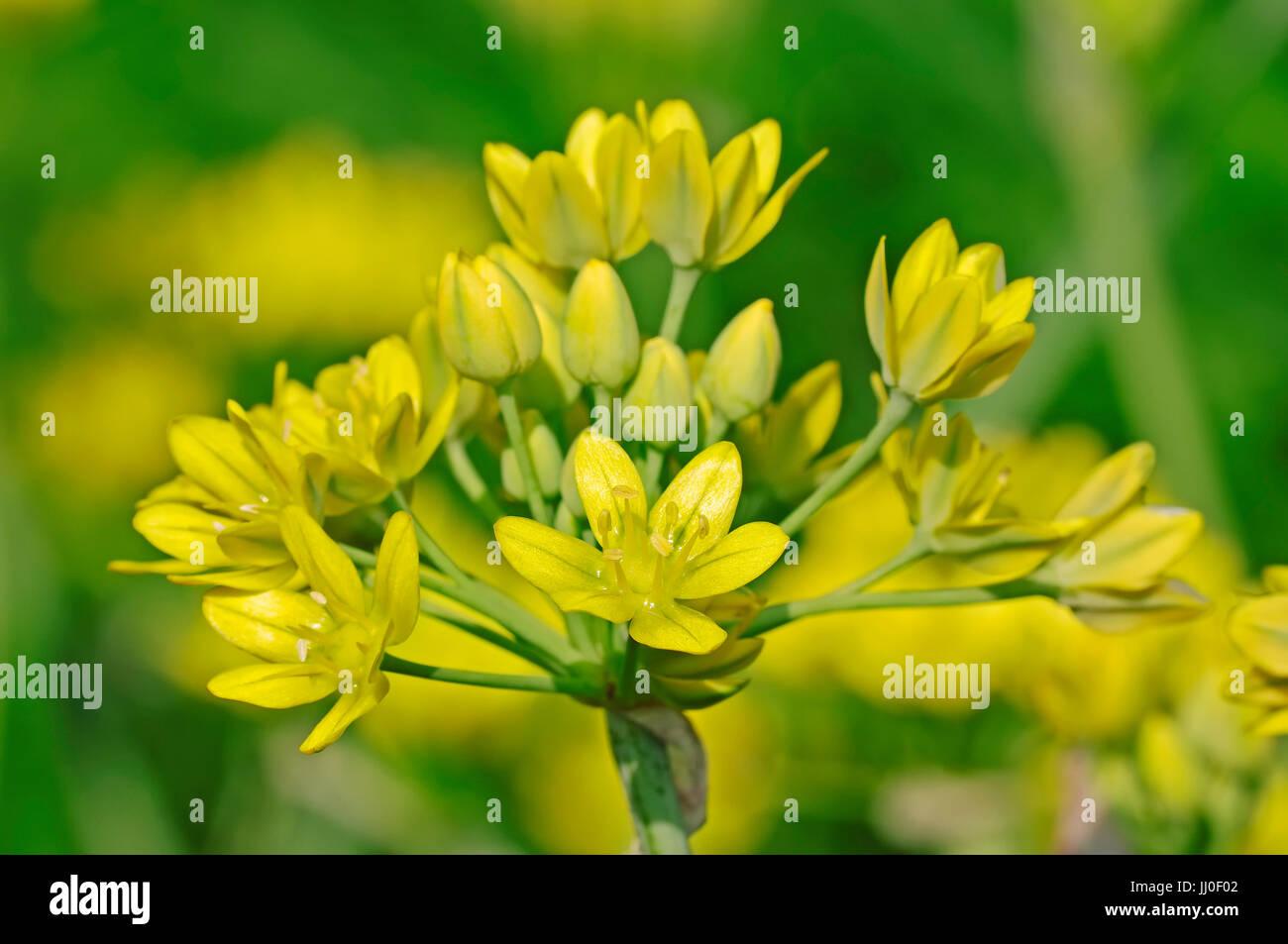 goldene knoblauch allium moly gelbe zwiebel liliy lauch gold lauch allium moly. Black Bedroom Furniture Sets. Home Design Ideas