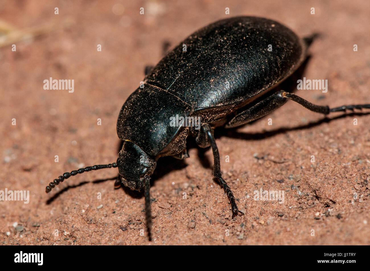 Käfer (Blaps Mucronata) Essen auf einem Lehmboden Stockbild