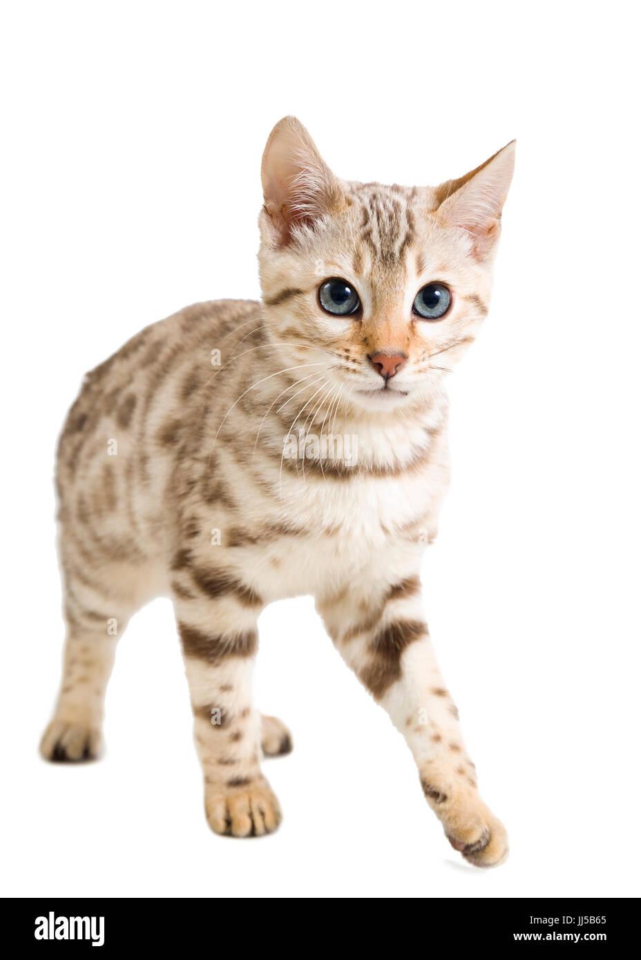 Snow Bengal cat Kitten auf weißem Hintergrund isoliert Model Release: Nein Property Release: Nein. Stockbild