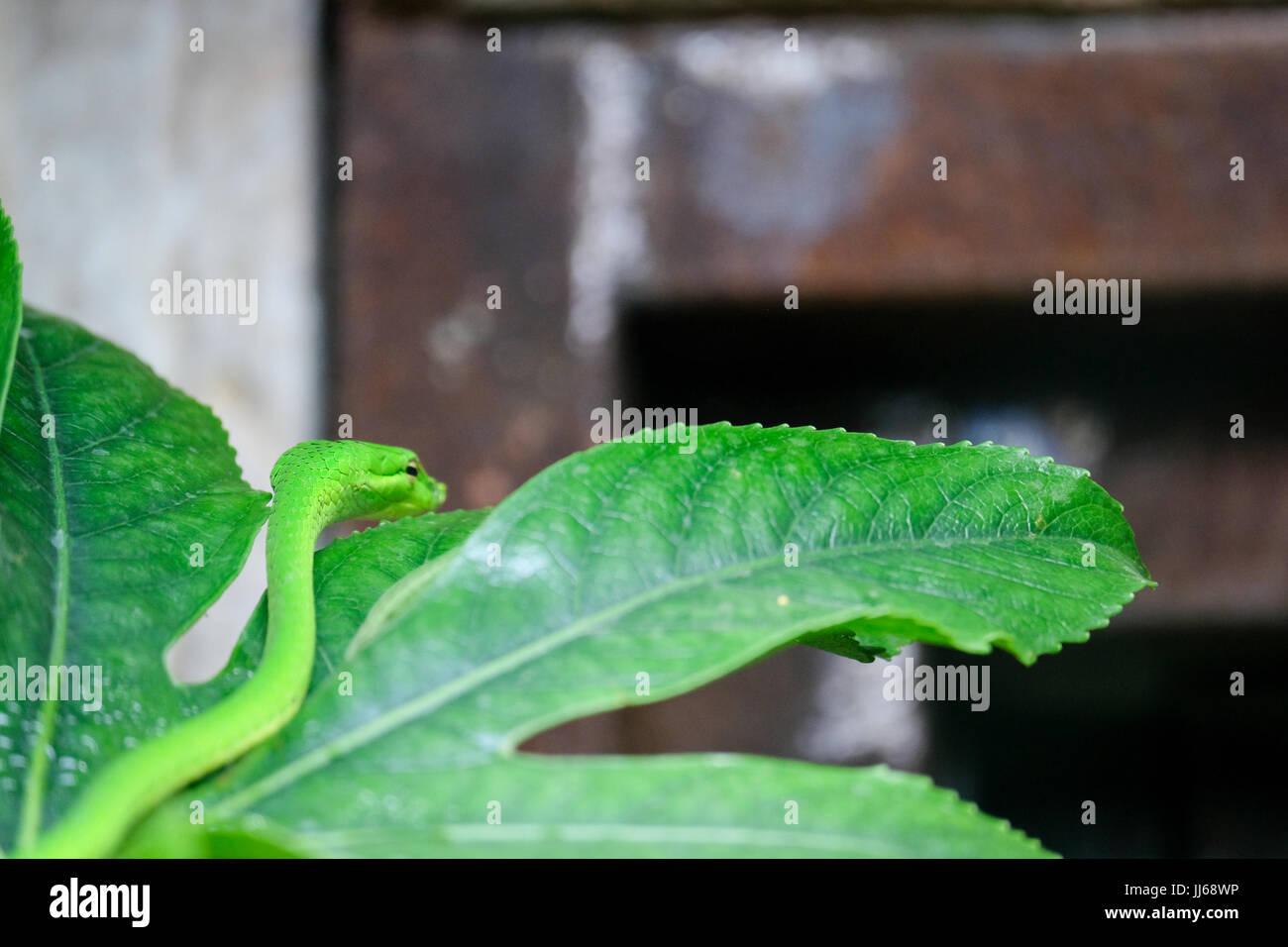 FUENGIROLA, Andalusien/Spanien - Juli 4: Grüne Mamba (Dendroaspis Angusticeps) bei den Bioparc Fuengirola Costa Stockbild