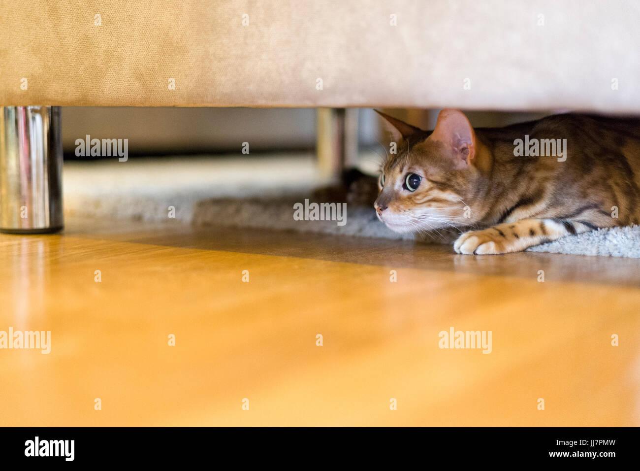 Weibliche Bengalkatze langsam und lautlos unter Sofa zum Angriff bereit, Model Release: Nein Property Release: Nein. Stockbild