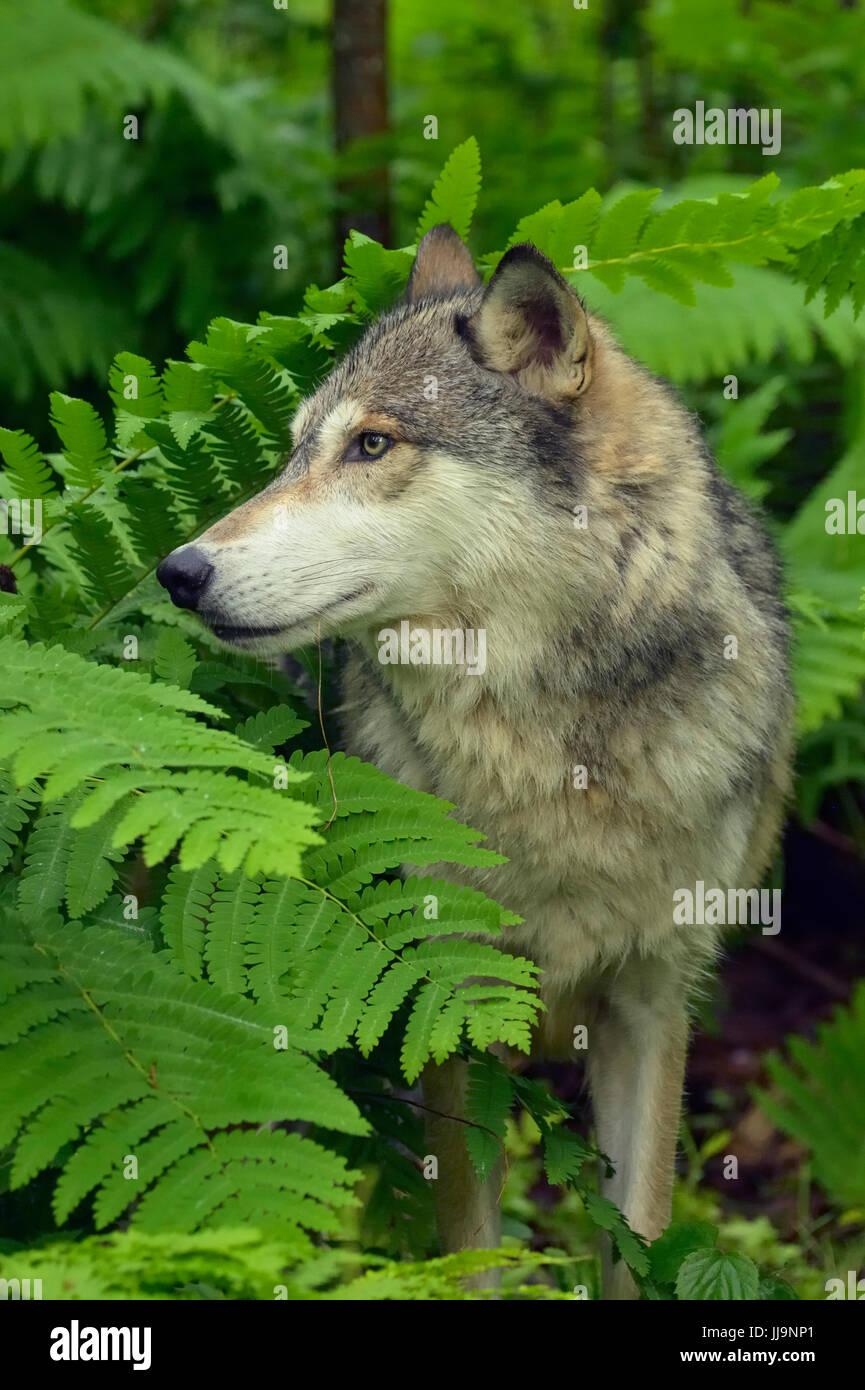 Grauer Wolf (Canis Lupus} Gefangenschaft angehoben Erwachsener, Minnesota Wild Verbindung, Sandstein, Minnesota, Stockbild