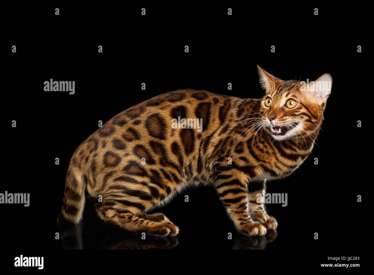Bengal-Katze, die auf schwarzen Hintergrund isoliert Stockbild