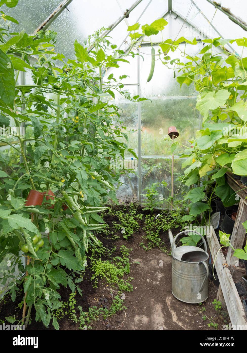 Gurken Und Tomaten Pflanzen Wachsen In Einem Inlandischen Oder Zu