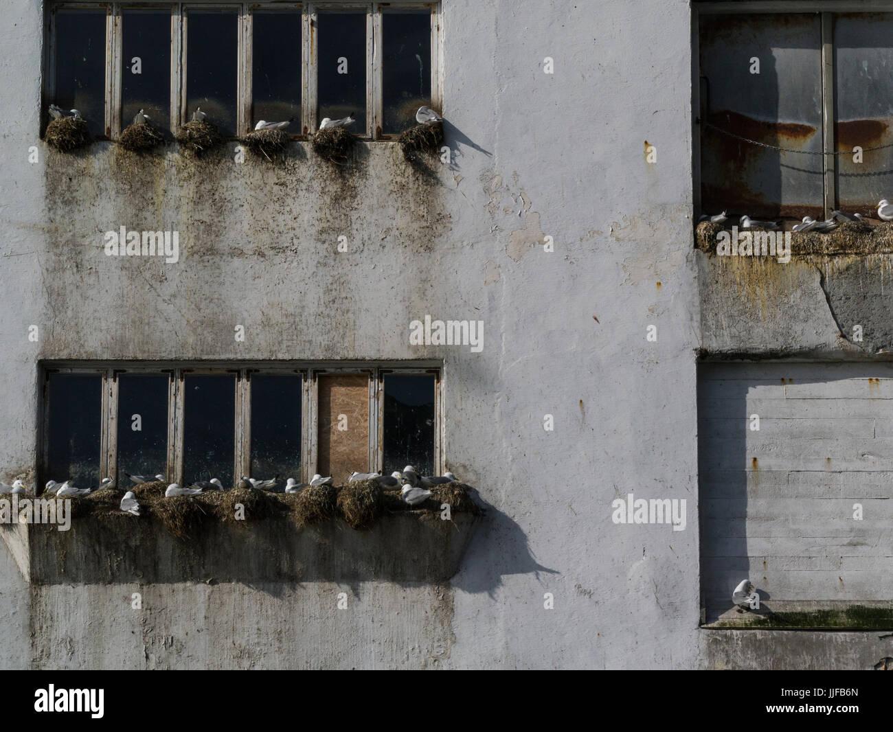 Eissturmvögel nisten auf Felsvorsprüngen Hafengebäuden Lofoten-Inseln Norwegen Stockbild