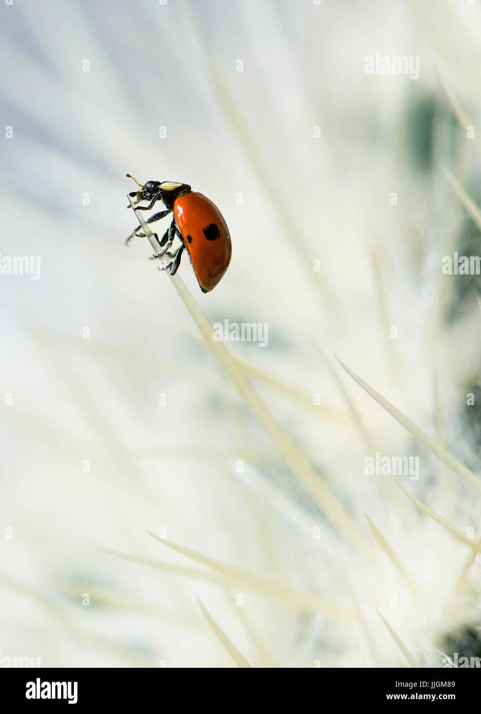 Europäische sieben entdeckt Marienkäfer (Coccinella Septempunctata) auf einem Kaktus Stockbild