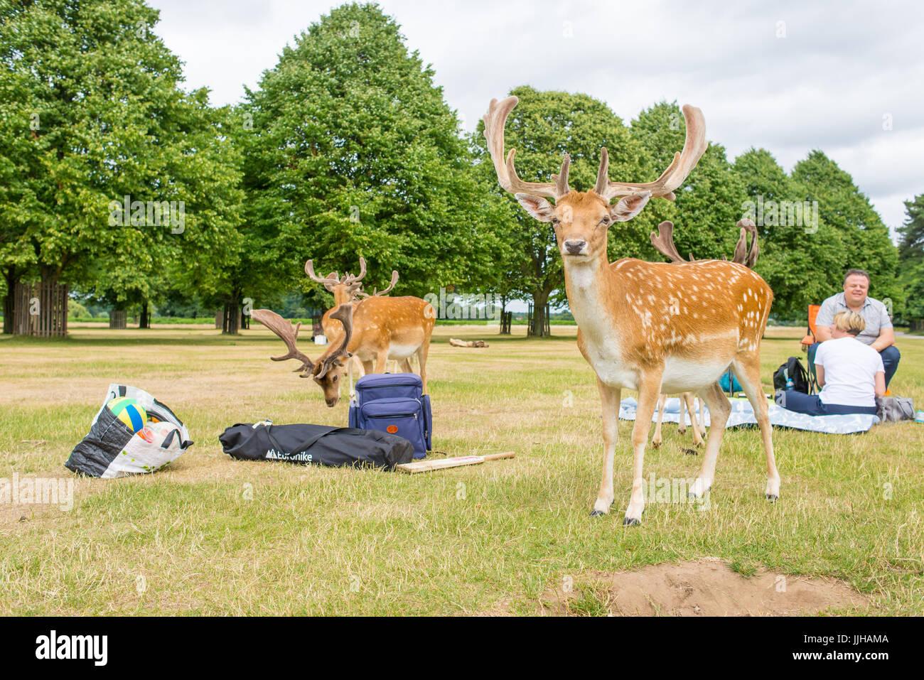 Richmond, London, UK - Juli 2017: Herde Damhirsche auf einem Rasen Wiese in Bushy Park neben zwei Personen mit einem Stockbild
