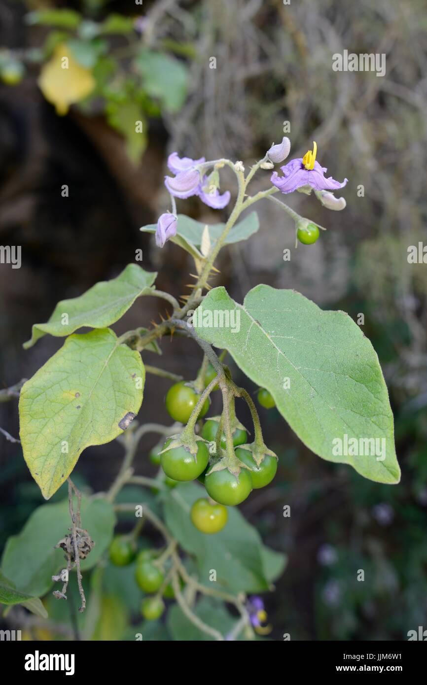 Doramas Nachtschatten (Solanum Vespertilio SSP. Doramae) eine seltene Pflanze, die endemisch auf Gran Canaria, Blüte Stockbild