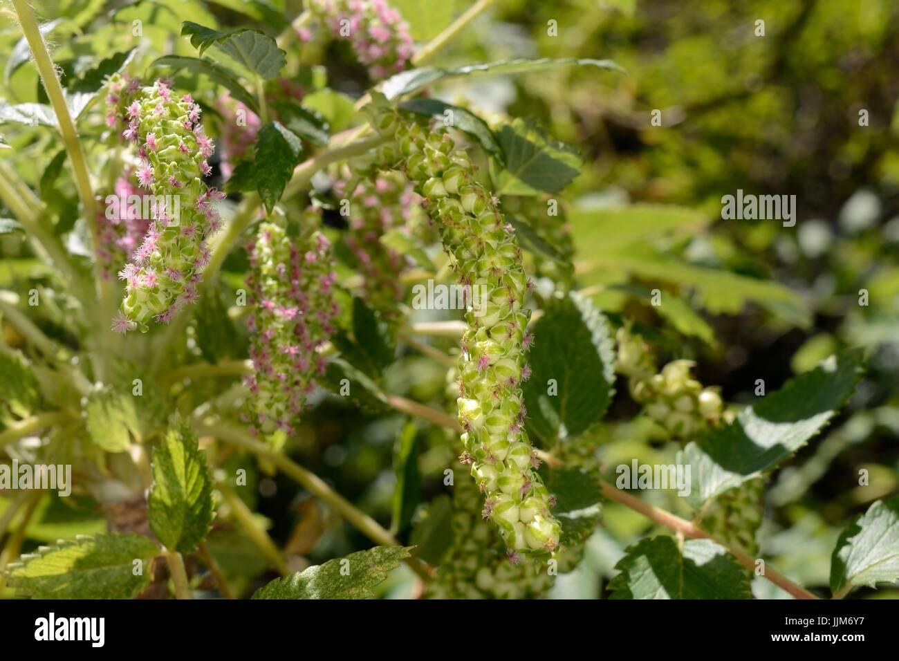 Strauchige Burnet / (Bencomia Caudata) endemisch auf den Kanarischen Inseln, Blüte in montane Laurel Wald / Stockbild