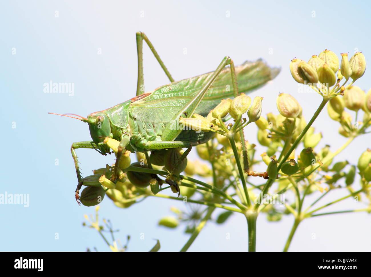 Männlichen europäischen Great Green Bush Cricket (Tettigonia Viridissima) in Nahaufnahme. Stockbild