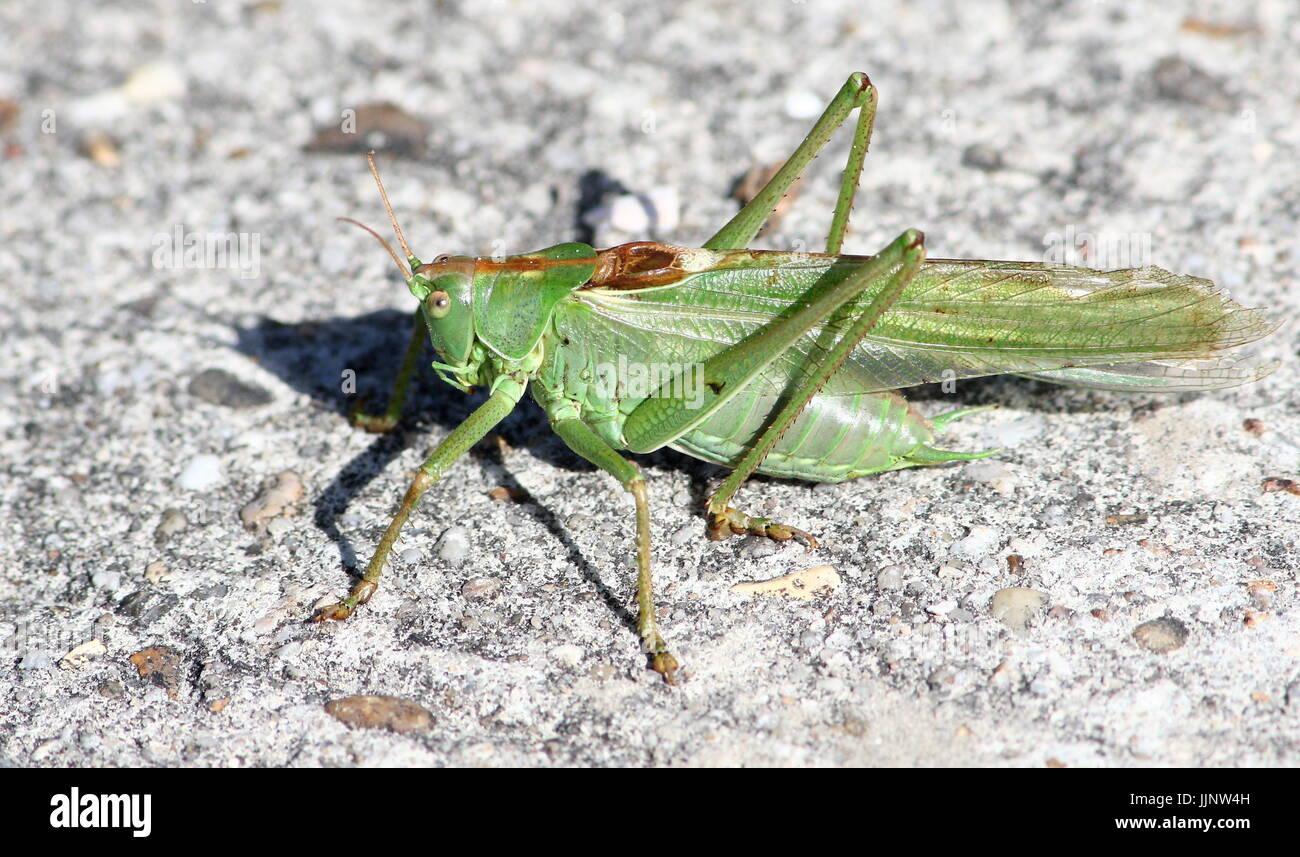 Europäischen Great Green Bush Cricket (Tettigonia Viridissima) in Nahaufnahme. Stockbild