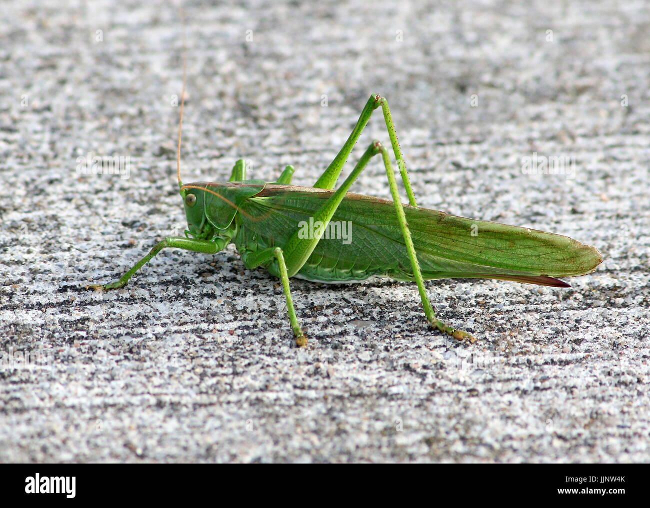 Weiblichen europäischen Great Green Bush Cricket (Tettigonia Viridissima) in Nahaufnahme. Stockbild