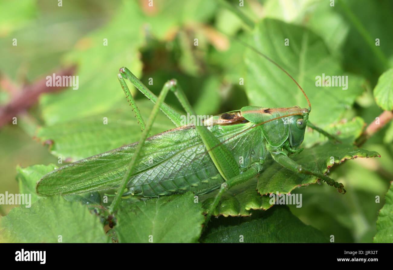 Eine große weibliche große Green Bush-Cricket (Tettigonia Viridissima). Cuckmere Haven, Sussex, UK. Stockbild