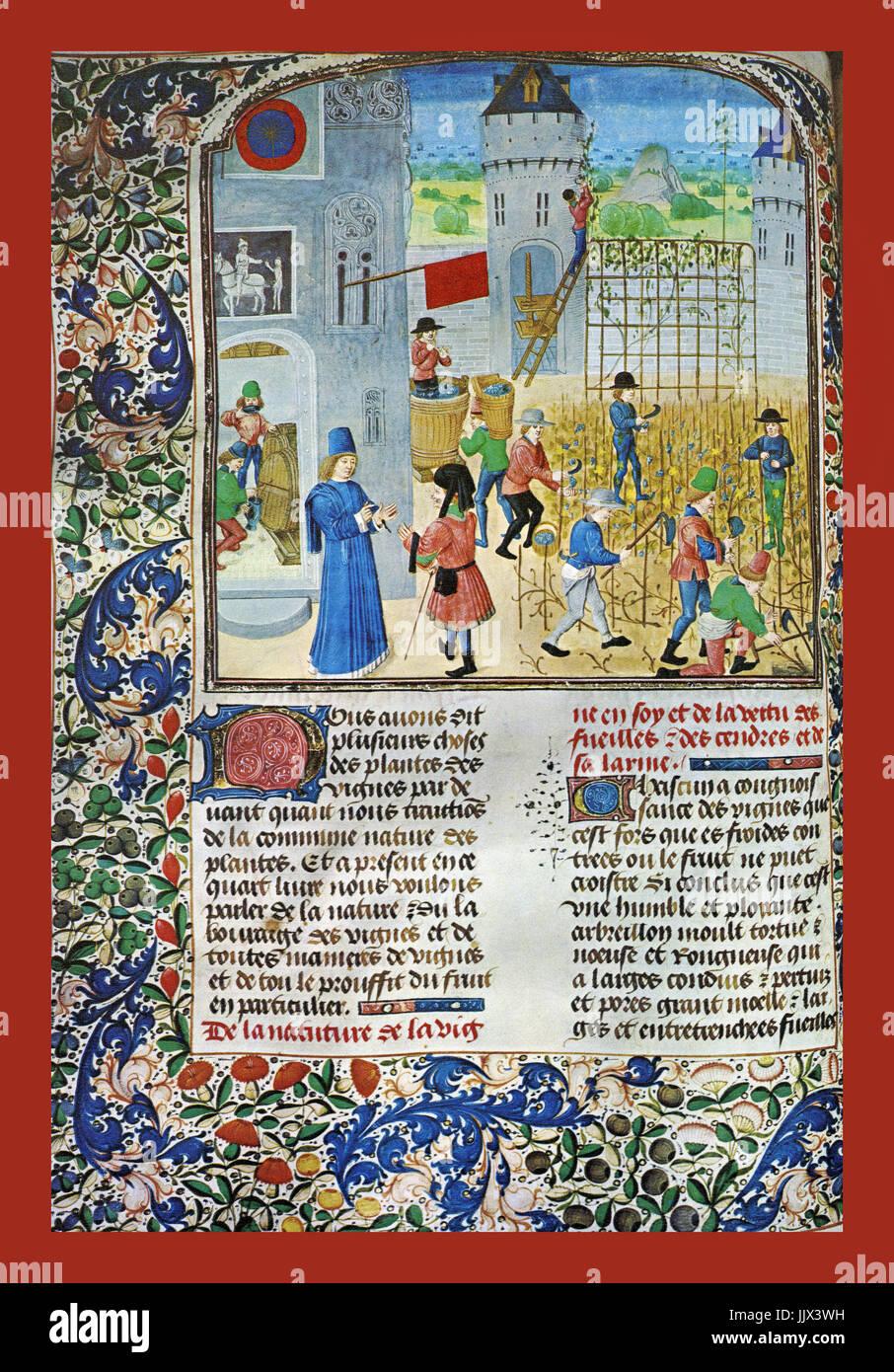 """HISTORISCHE Weinlese / Wein Produktion beleuchtet DESIGN IN THE 15TH Jahrhundert von Pierre de Crescens """"Livre Stockbild"""