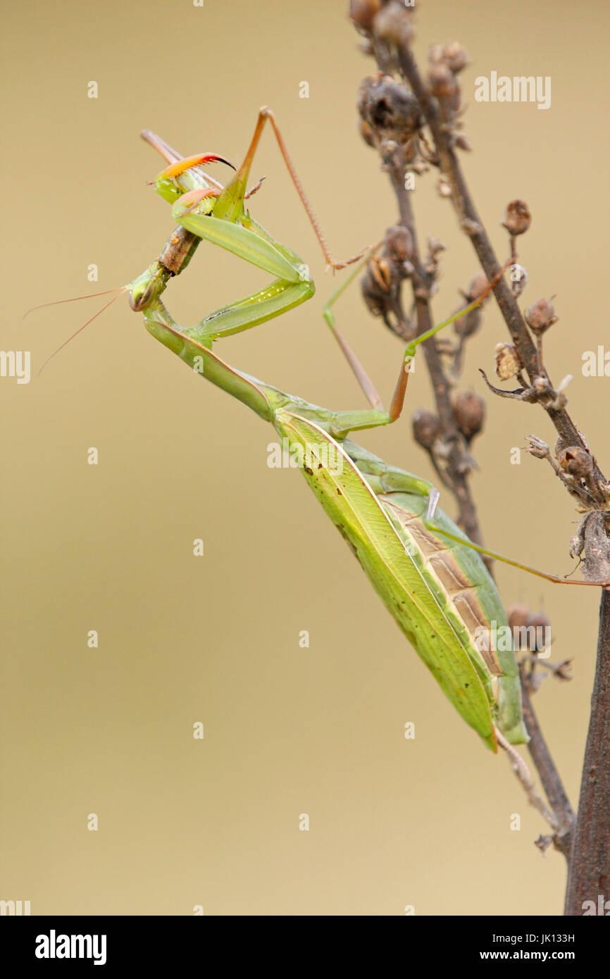 insekt fressen stockfotos insekt fressen bilder seite 3 alamy. Black Bedroom Furniture Sets. Home Design Ideas