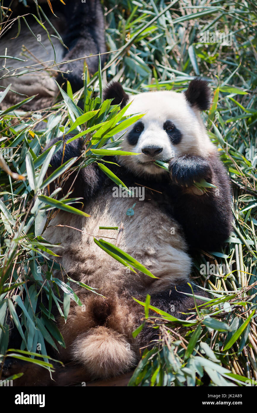 Giant Panda Essen Bambus Chengdu Provinz Sichuan China Stockfoto