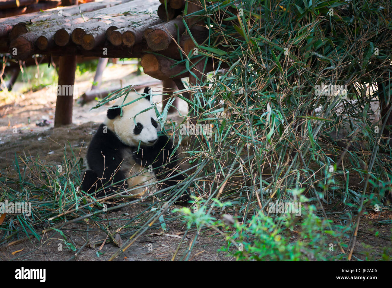 Panda Cub Sitzen Und Essen Bambus Chengdu Provinz Sichuan China