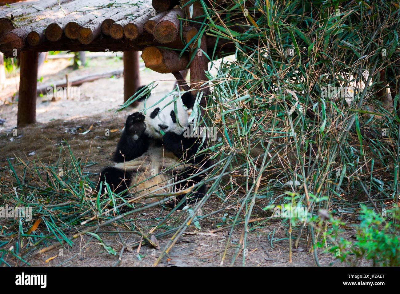 Panda Cub Sitzen Und Essen Bambus Wahrend Salutierte Mit Seiner Hand
