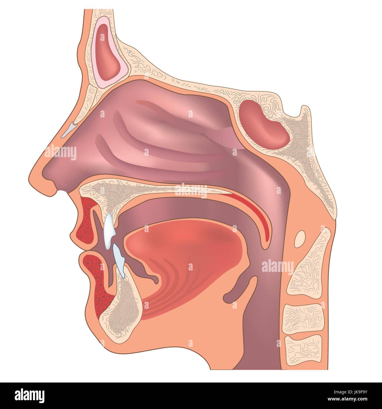 Anatomie der Nase und Rachen. Menschliche organ struktur ...