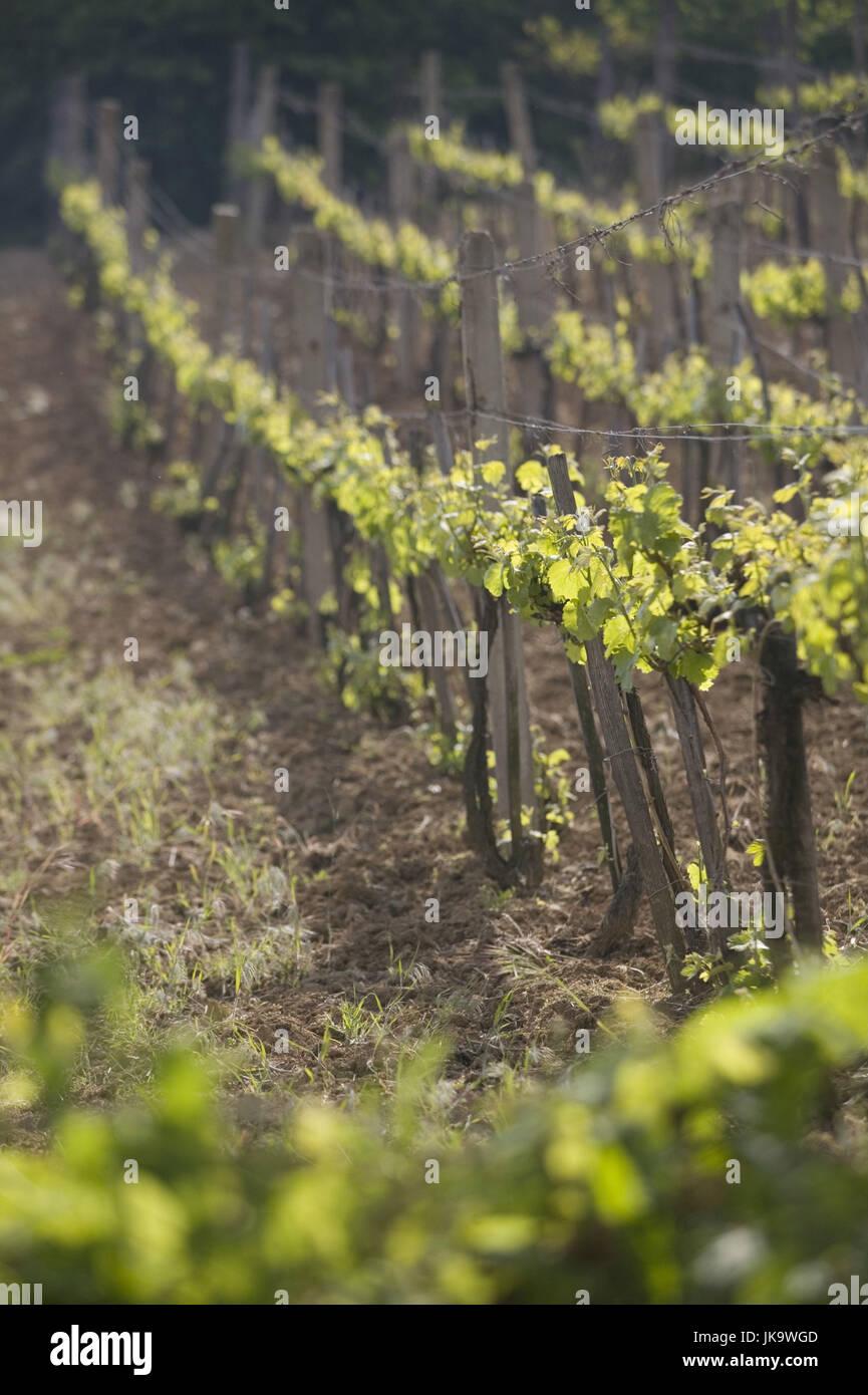 Ungarn, Weinberg, Weinstöcke, Abendlicht, Nordungarn, Wirtschaft, Landwirtschaft, Pflanzen, Nutzpflanzen, Wein, Stockbild