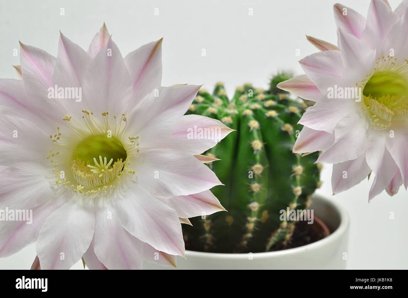 nahaufnahme einer konigin der nacht kaktus mit zwei bluten nahaufnahme makro weisser