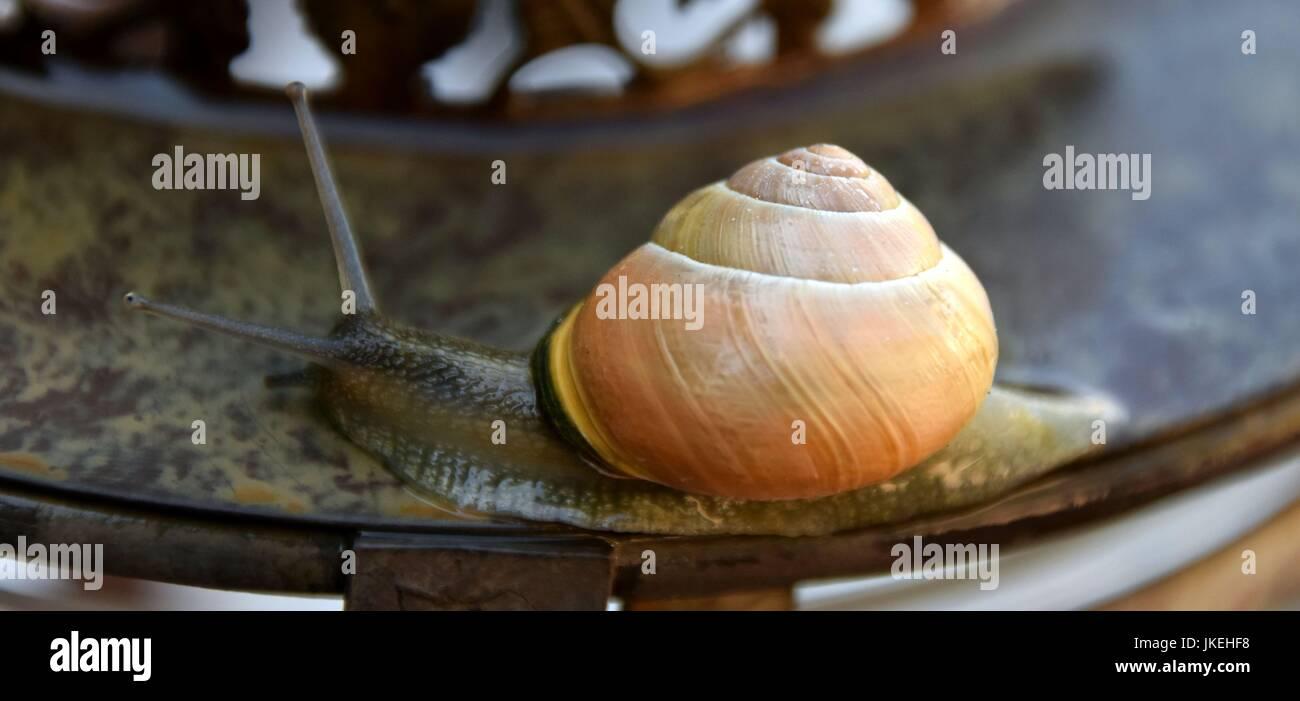 Helix Pomatia, Gastropoda, Schnecken Stockbild