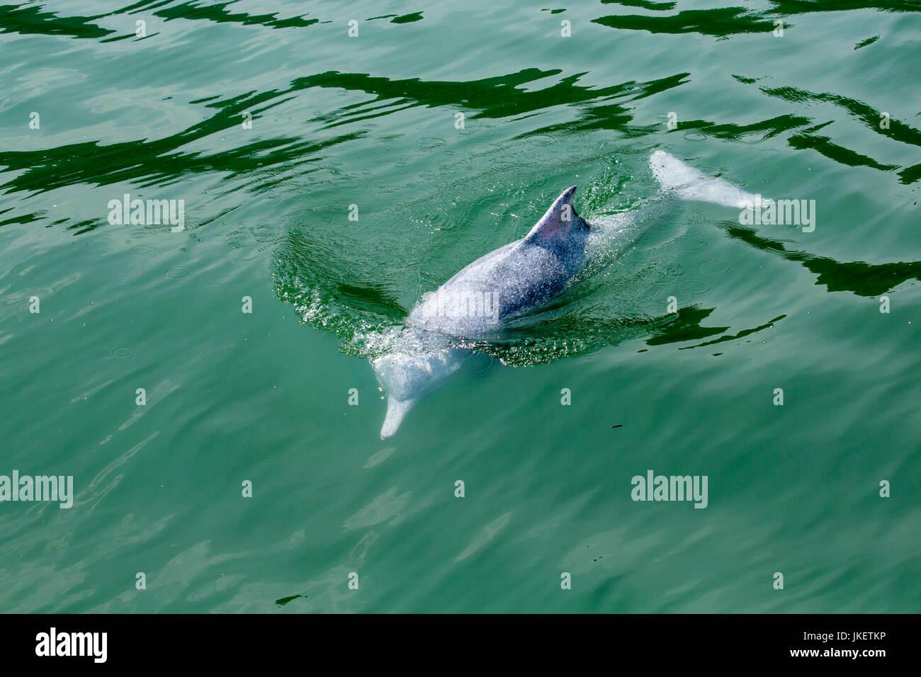 Eine junge indo-pazifischen Buckelwale dolphin (Sousa chinensis) auftauchen, mit schönen Wasser Muster Stockbild