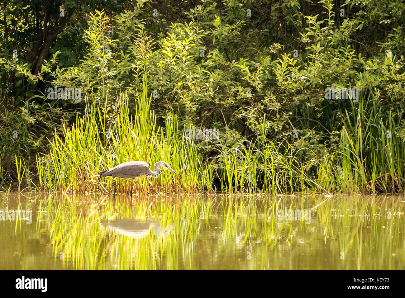 bird small white heron stockfotos bird small white heron bilder alamy. Black Bedroom Furniture Sets. Home Design Ideas