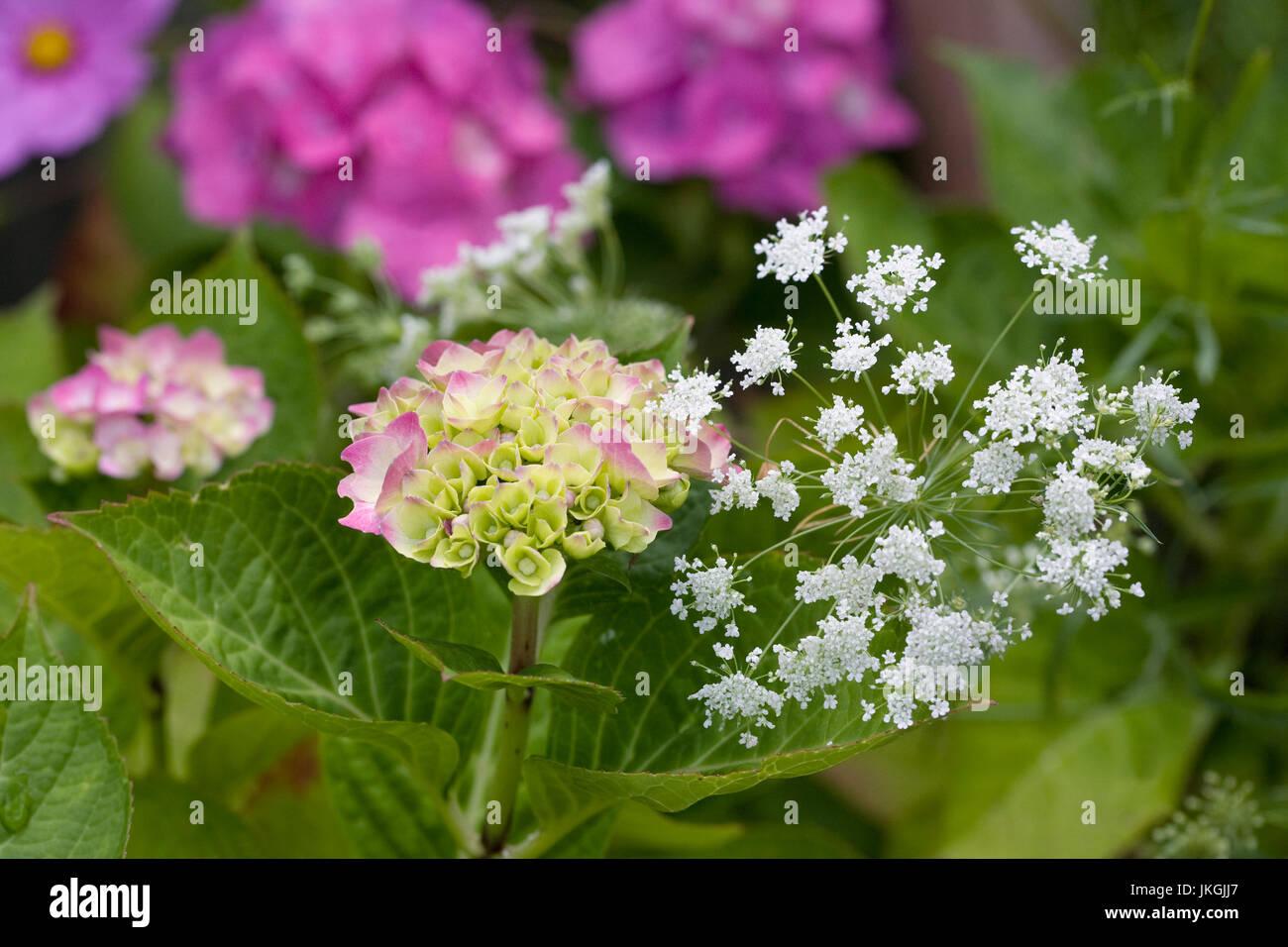 Hortensie und Ammi Majus Blumen im Garten. Stockfoto
