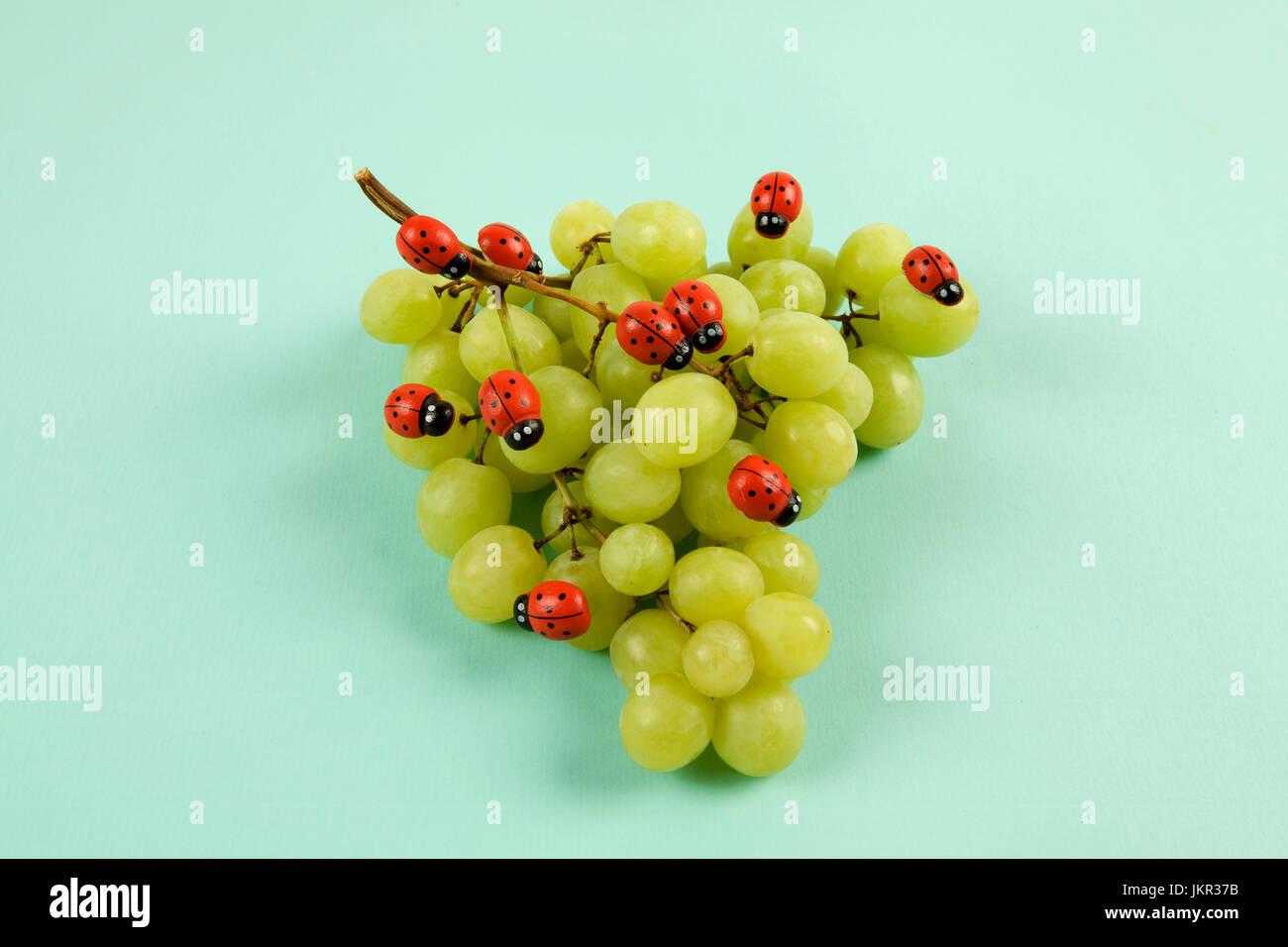 Invasion der Marienkäfer auf Weintraube. Vibrant Farbe Türkis oder violett Hintergrund. Minimalistisches Stockbild