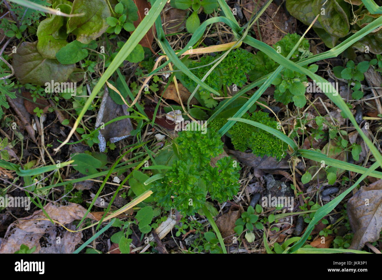 parsley seedling stockfotos parsley seedling bilder alamy. Black Bedroom Furniture Sets. Home Design Ideas