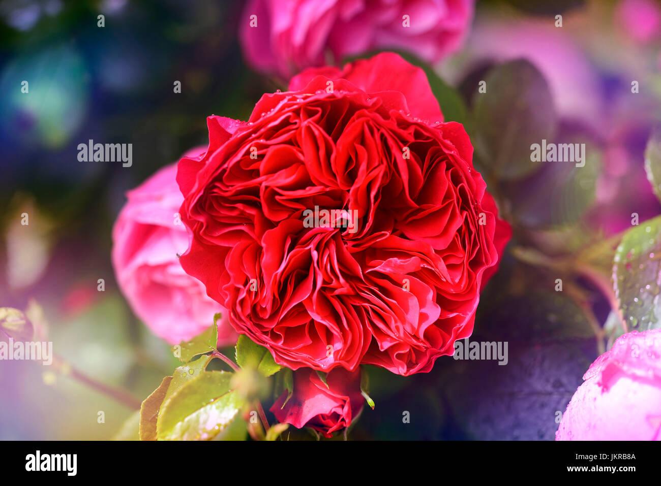 Rose Red Leonardo da Vinci Stockbild
