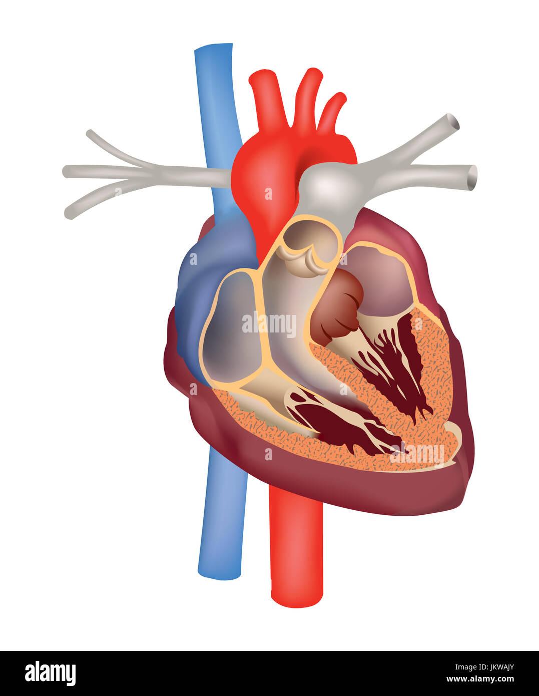 Herz Anatomie medizinische unterzeichnen. menschliche Herz ...