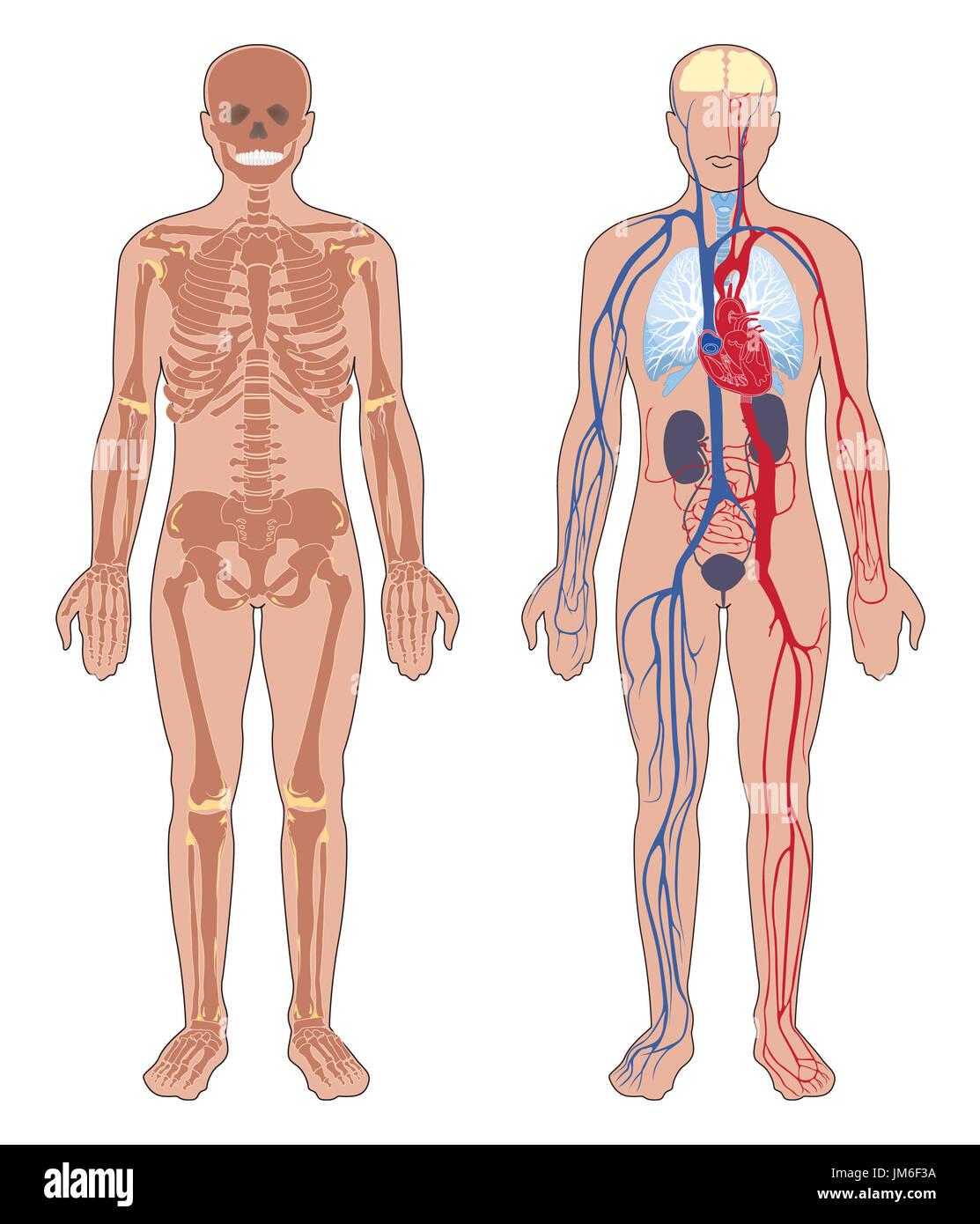 Die menschliche Anatomie. Satz von Vector Illustration auf weißem ...