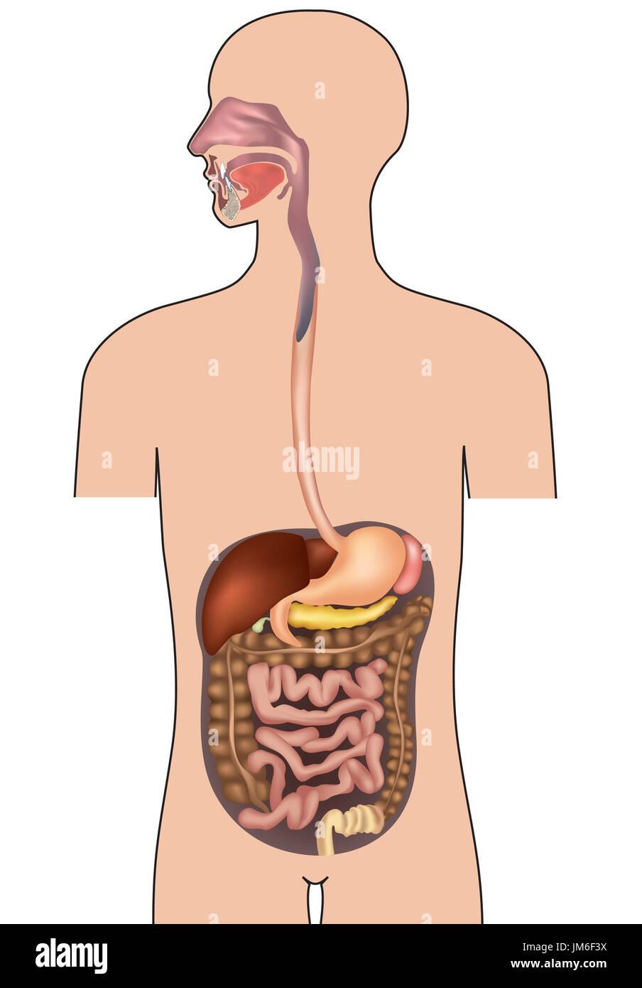 Großartig Magen Darm System Galerie - Menschliche Anatomie Bilder ...