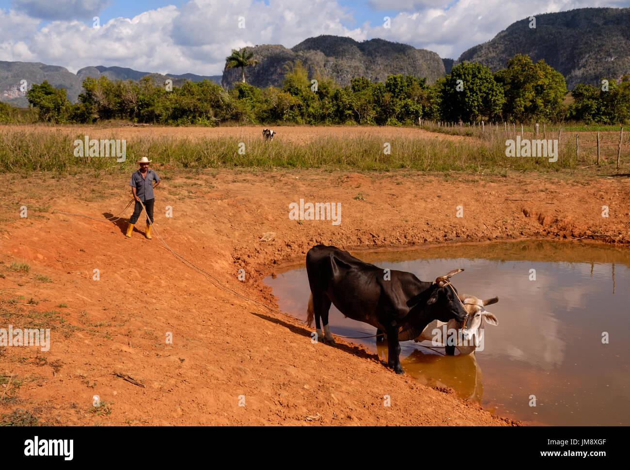 Der Bauer seine Kühe zu einem Wasserloch in Viñales, Kuba führt. Stockbild