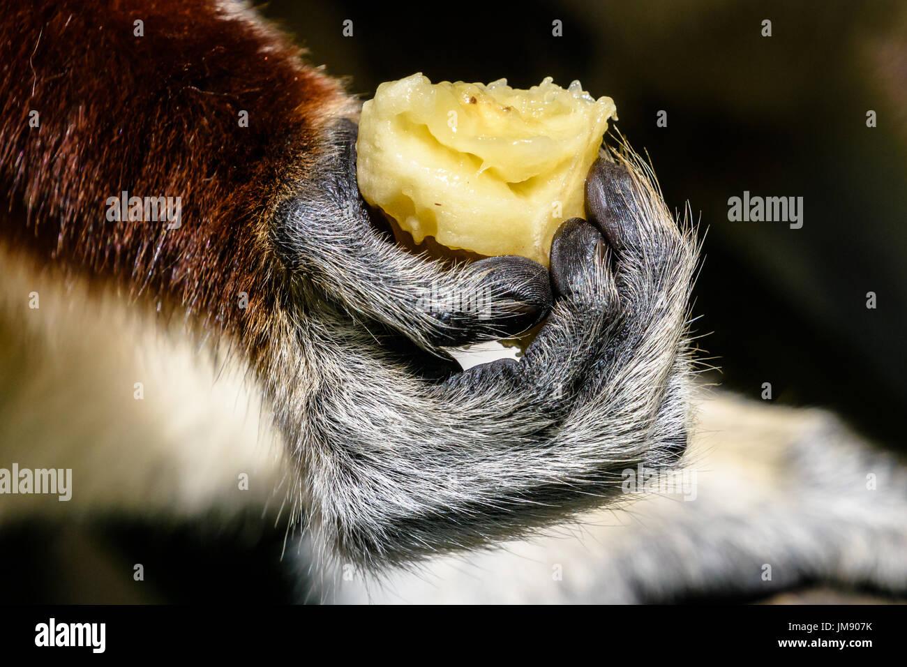 Nahaufnahme von Sifaka Lemur Hand mit Banane Stockbild