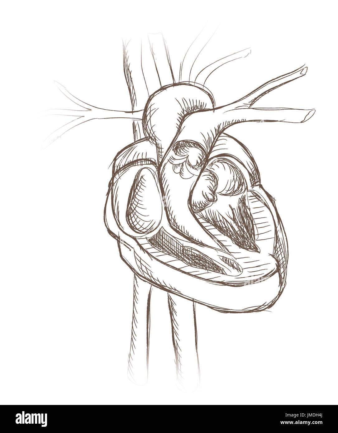 Tolle Herzanatomie Abbildungen Zeitgenössisch - Anatomie Von ...