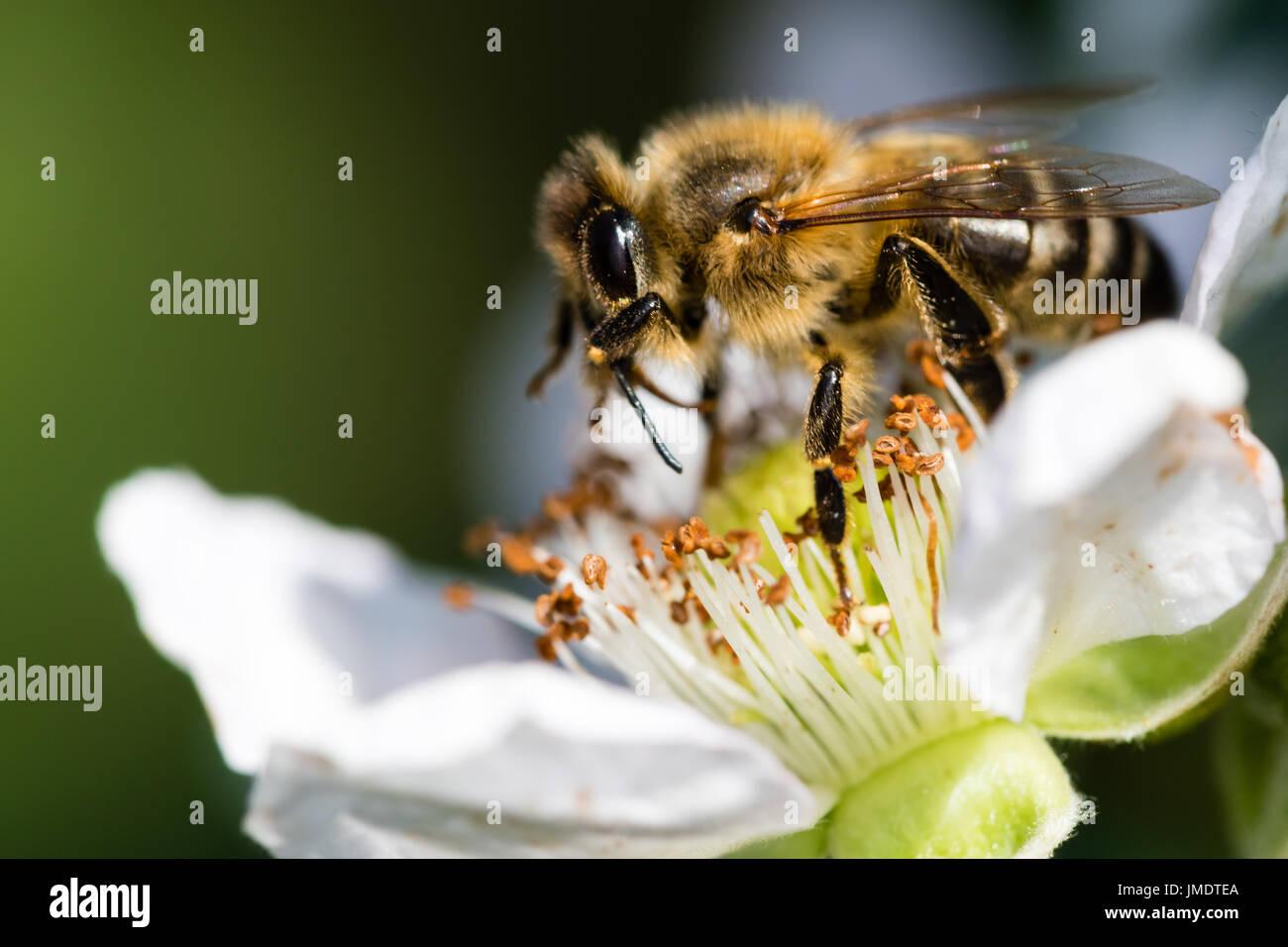 Die Europäische Biene Bestäubung eine kleine weiße Blume in der Frühlingswiese. Makroaufnahme mit dunklem Hintergrund verschwommen. Stockbild